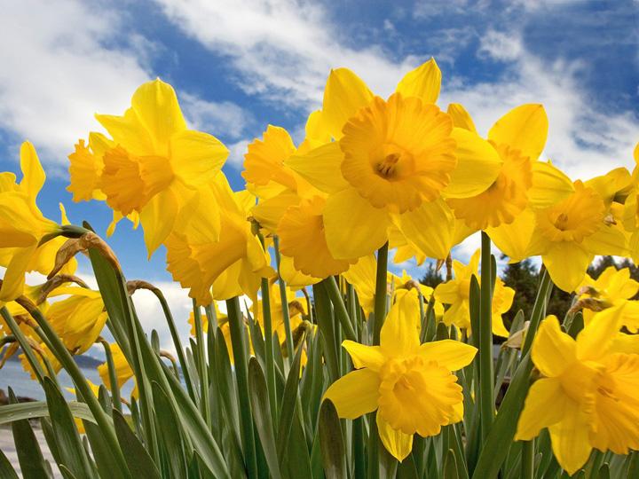 sunny_daffodils-2